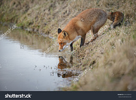 stock-photo-red-fox-reflection-241232551.jpg