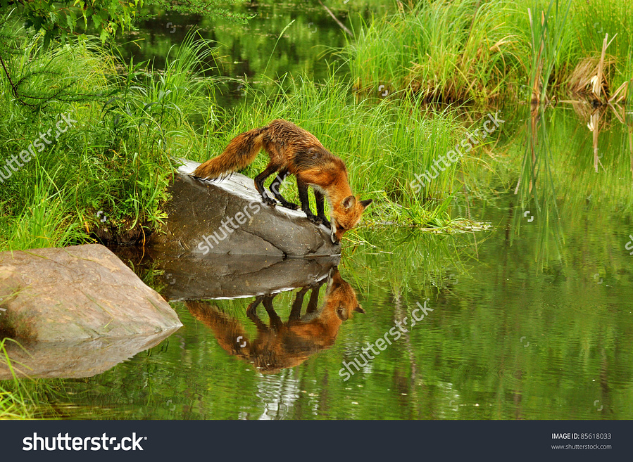 stock-photo-red-fox-reflections-in-water-captive-85618033.jpg