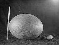 Elephant-bird-Aepyornis-egg-from-Madagascar-shown-with-chicken-egg-and-scale.png