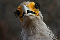 secretary_bird_eyelashes_2014_09_09.jpg