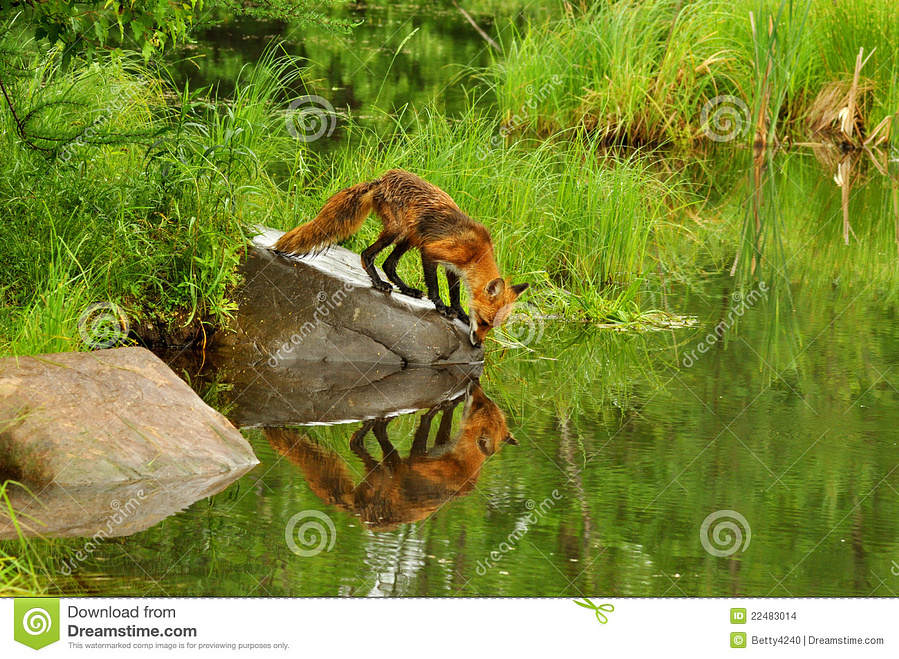 red-fox-water-reflection-22483014.jpg